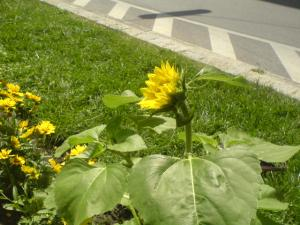 Sunflower in a traffic circle