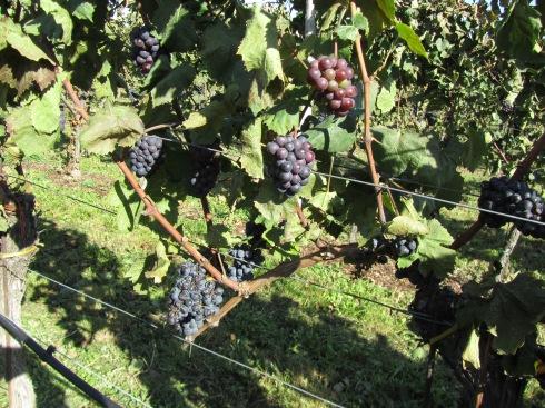 vineyards_01_blue grapes