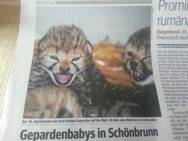 zoo_cheetah cubs_2014