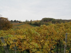 22_vineyards with hills behind.JPG